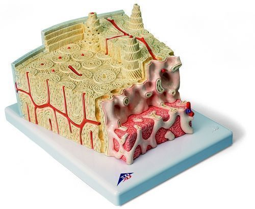 3B MICROanatomy™ Bone structure - 80 times enlarged A79