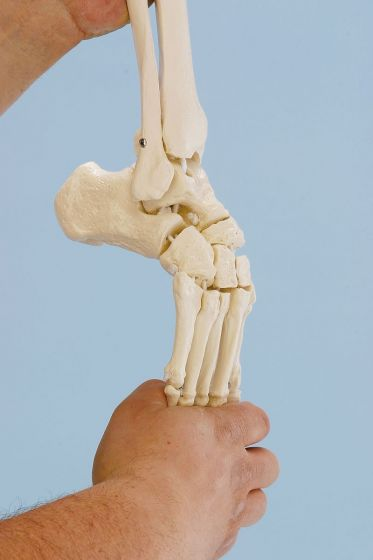 Skeleton of foot with tibia and fibula insertion Erler Zimmer