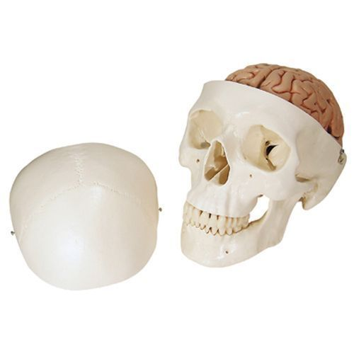 Classic Human Skull with 8 part Brain A20/9