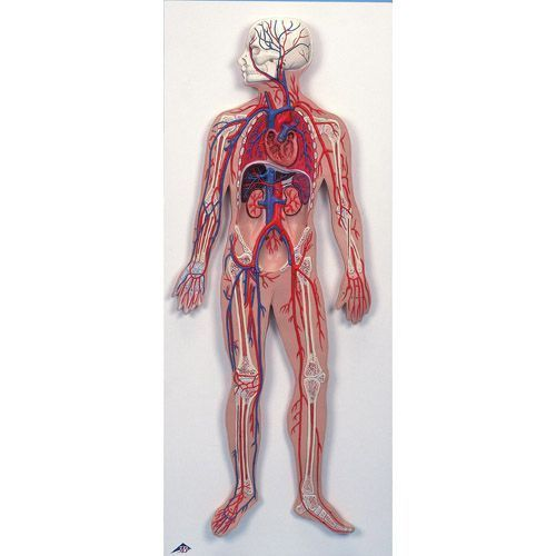 Circulatory System G30