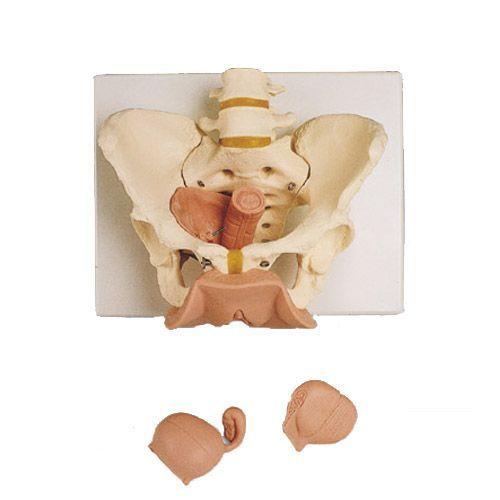3-Part Female Pelvis Skeleton with Genital Organs