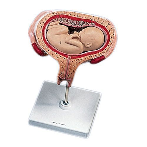 Fetal development, transverse lie, 5th Month L10/6