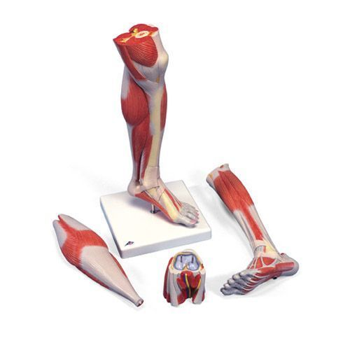 3-part Lower Leg Muscles with detachable Knee M22