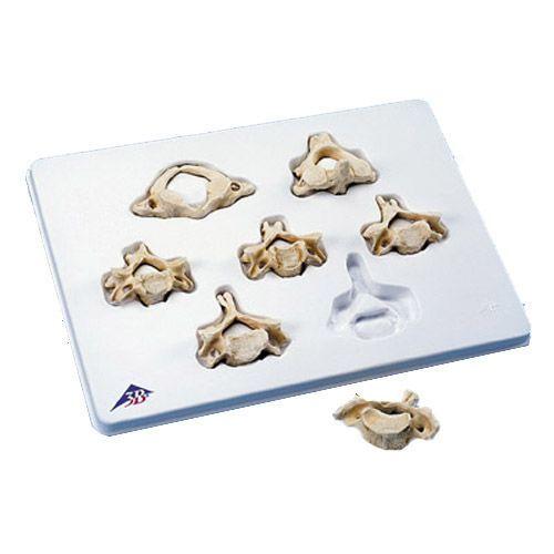 Set of 7 BONElike Cervical Vertebrae A790