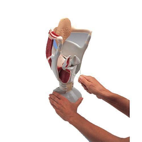 4 Times Enlarged Functional Larynx model W42503
