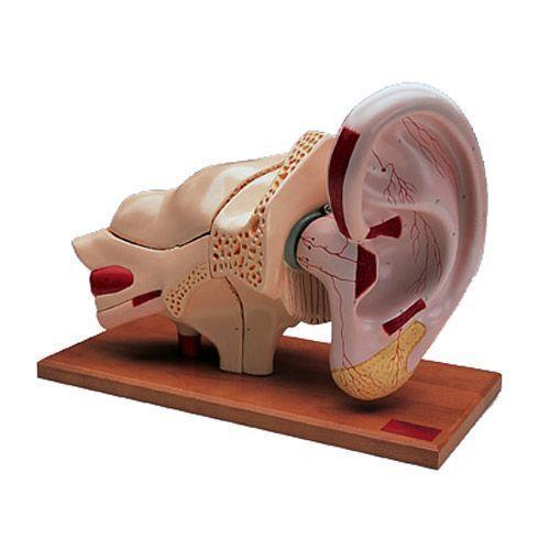 5 Times Enlarged Ear model, 8 parts W42514