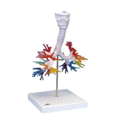 CT Bronchial Tree model with Larynx G23