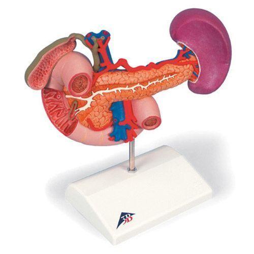 Epigastrium model, posterior organs K22/2