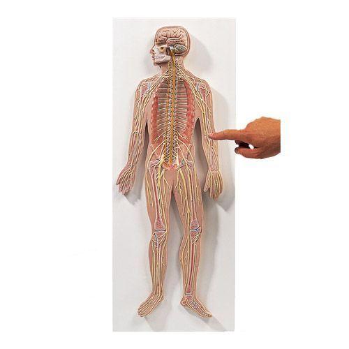 Nervous System, Half-lifesize, C30