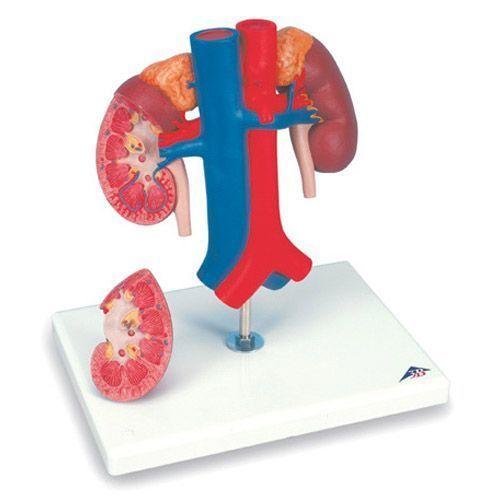 Kidneys with vessels, 2 part K22/1