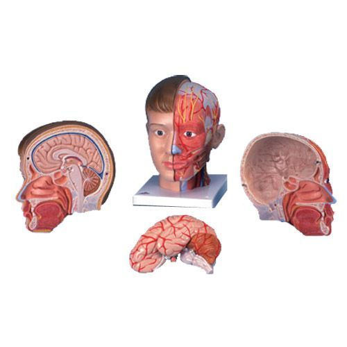 Head and neck anatomical model, 4-part, C07