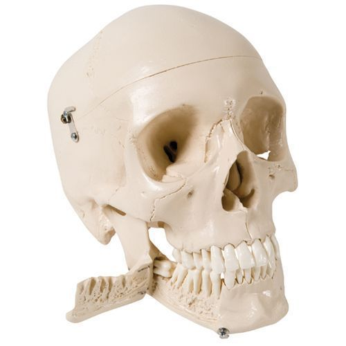 4 part skull for tooth extraction, W10532