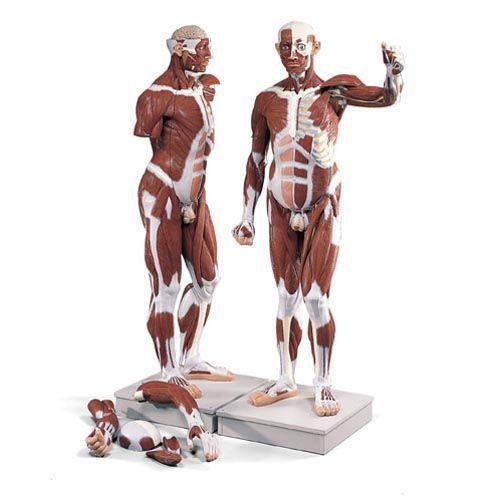 Life size Male Muscle Figure, 37 parts VA01