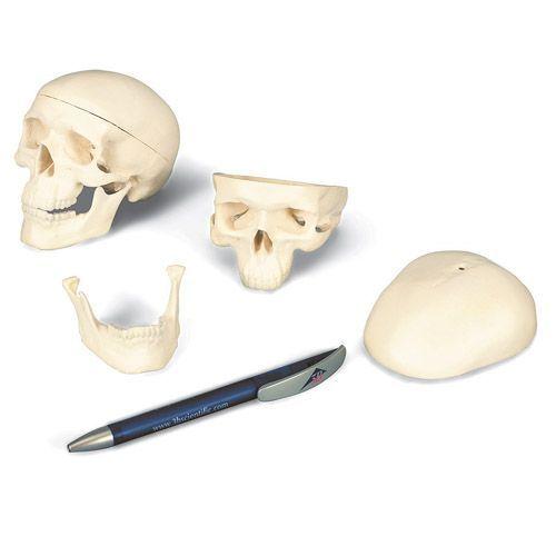 Mini Human Skull Model, 3 part