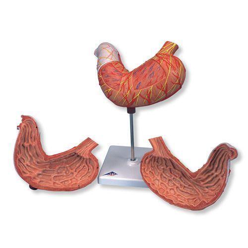 Stomach model, 2 part K15