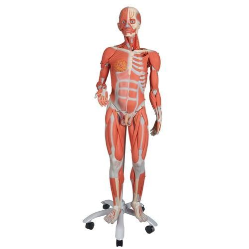 Deluxe Bisexual Muscle Figure, 45 parts, 3/4 Life Size B50