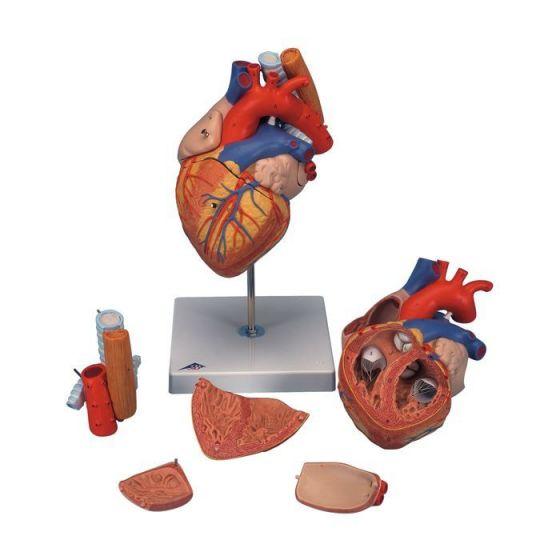 Heart with Esophagus and Trachea G13