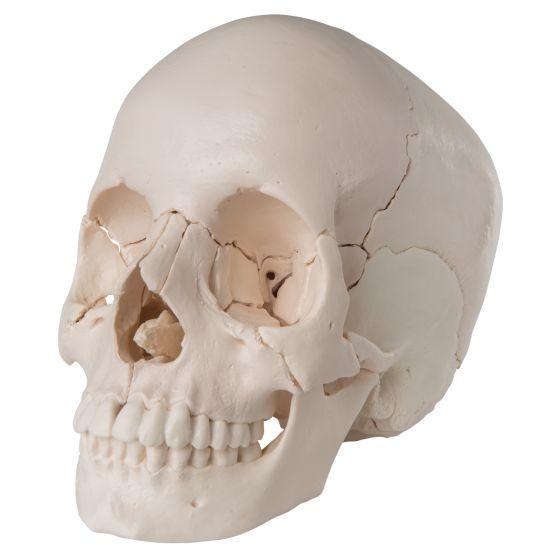 Articulated Adult Human Skull - Anatomical Boney Version, 22 part A290