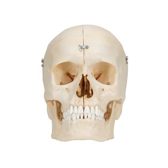 BONElike™ Human Bony Skull, 6 part A281