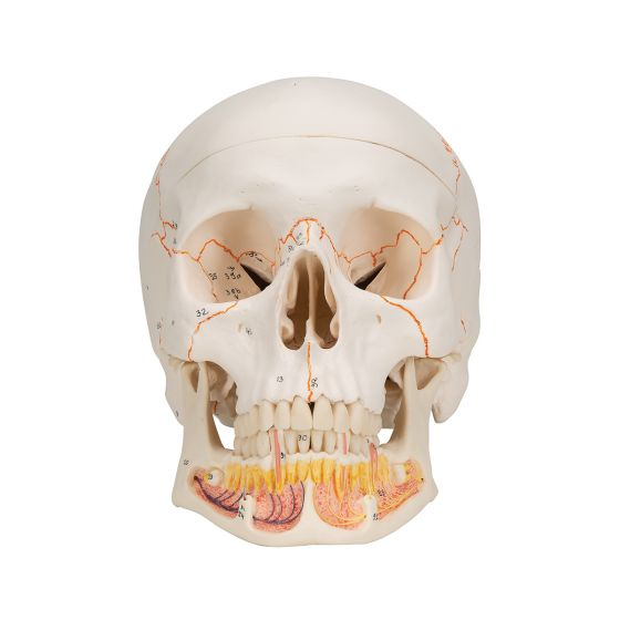 Classic Human Skull, with Open Lower Jaw A22