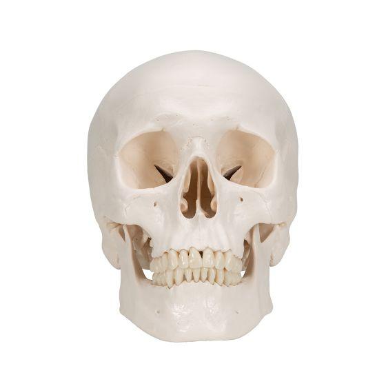 Classic Human Skull A20