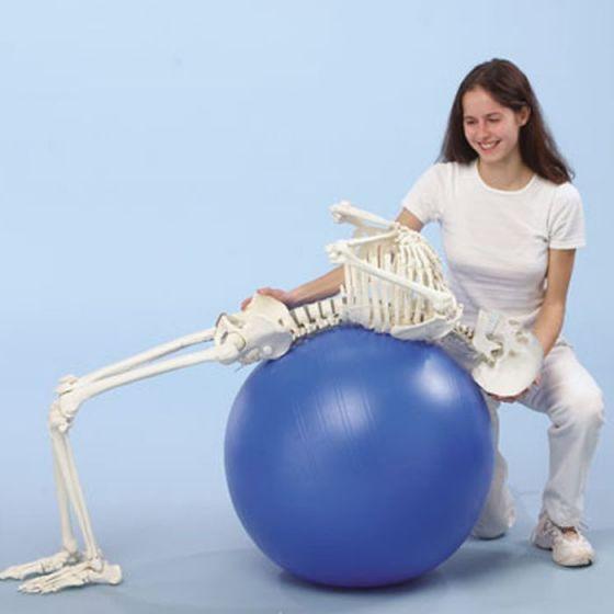 "Human skeleton  ""Hugo"" Erler Zimmer"