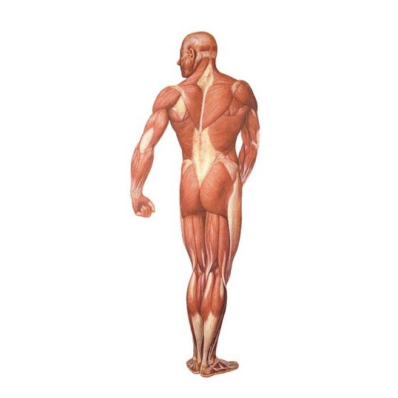 Back view of the human muscles V2005U