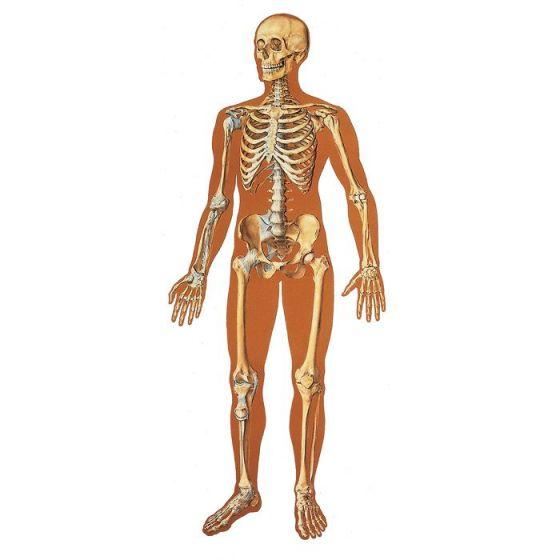 The Human Skeleton Chart V2001U, front