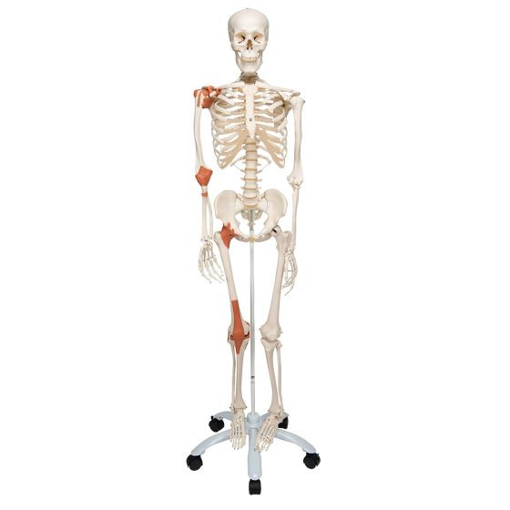 Human Ligament Skeleton, Leo, on 5 star stand A12