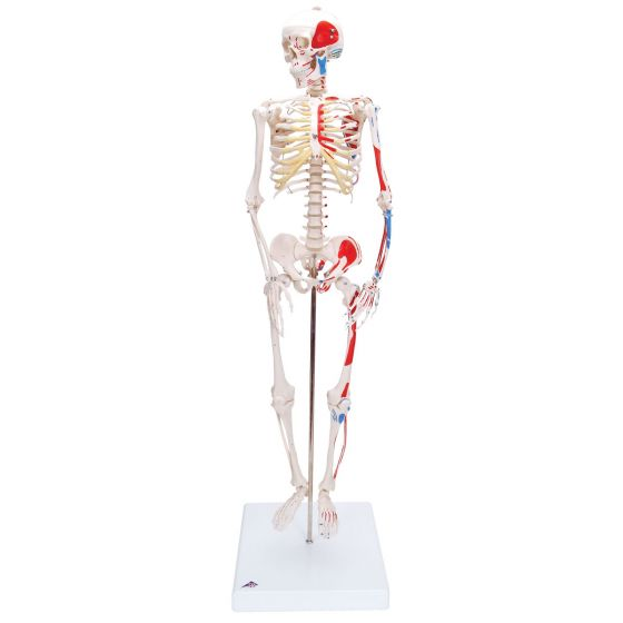 Mini Human Skeleton - Shorty - with painted muscle origins and insertions  A18/5