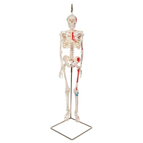 Mini Human Skeleton - Shorty - with painted muscles and hanging stand A18/6