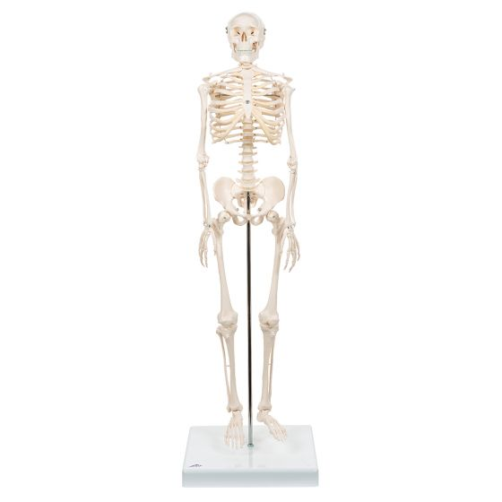 Mini Skeleton - Shorty - on a base A18