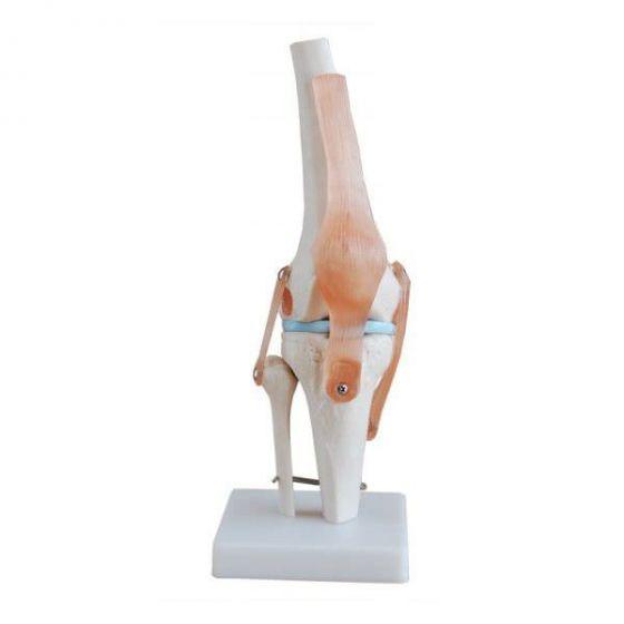 Mediprem knee anatomy model