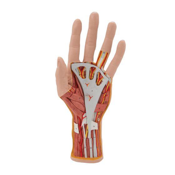 Hand structure model, 3 part M18