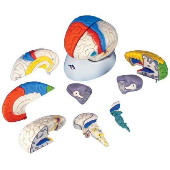 Neuro-Anatomical Brain C22