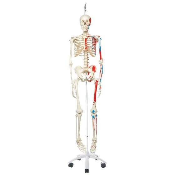 MAX, Human Skeleton Model, on 5 star roller stand A11/1