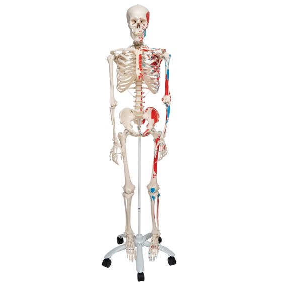 Muscle Skeleton Max on 5 star stand A11