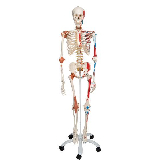 Deluxe Human Skeleton Sam, flexible with muscles and ligaments, pelvic A13