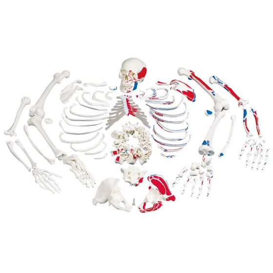 Disarticulated Full Human Skeleton, with painted muscles, A05/2