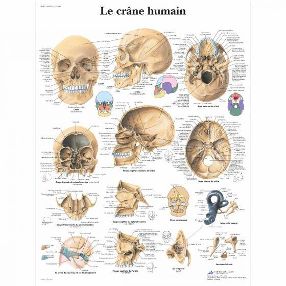 The human skull VR2131L