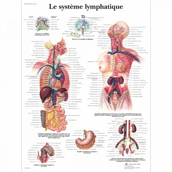 The lymphatic system VR2392L